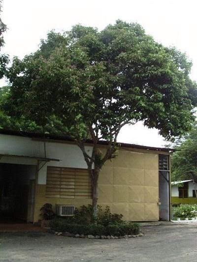 tonkabohnenbaum